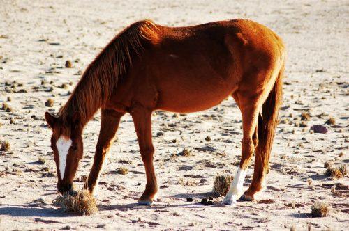 Een van die Namib se wildeperde knibbel aan 'n droe graspol. FOTO: MARICELLE BOTHA
