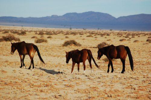 Die Namib se wildeperde. FOTO: MARICELLE BOTHA