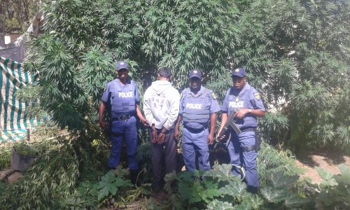 A 33-year-old Indian male who allegedly planted those trees was apprehended for dagga plantation. Photo: Supplied.