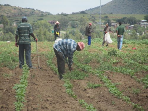Farm workers busy weeding off the production, after the recent rains on the farm.