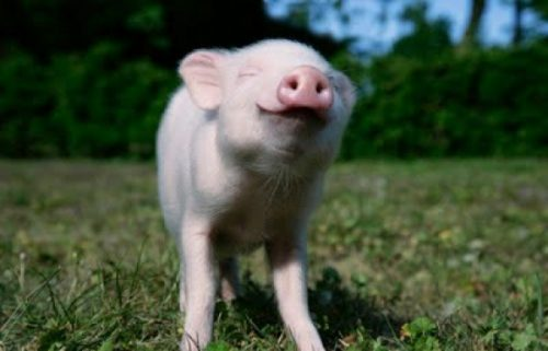 Someone made this lil Piggy's day by saying it could fly! Credit: Pinterest