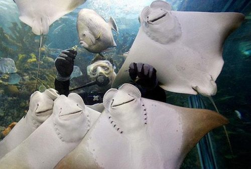 "All these Sting Rays ever wanted was to have their ""Squad Goals"" picture taken. Credit: imgur"