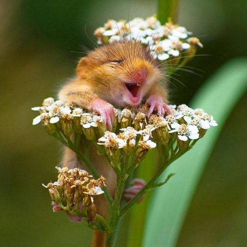This rodent clearly prefers flowers over chocolate! Credits: Ronnie Bergström
